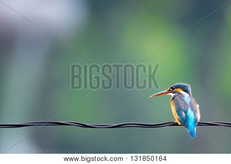 a beautiful blue bird On the cables