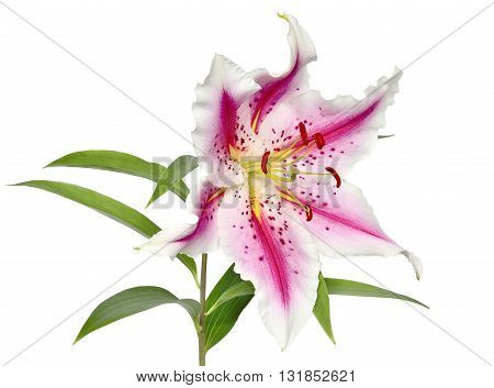 Elegant spotted pink lily with wavy petals close-up isolated on white background