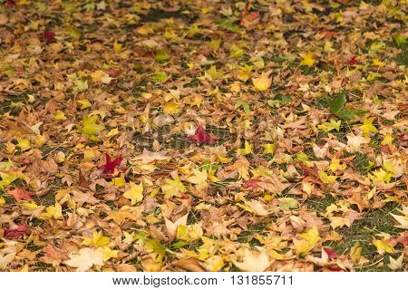 Fallen leaves at winter in a forest