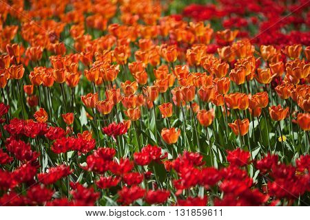 A fragment of orange and red tulips flower bed