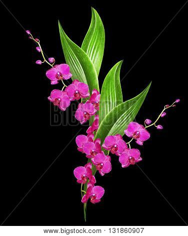 Delicate orchid flowers isolated on black background. Beautiful flower Orchid.