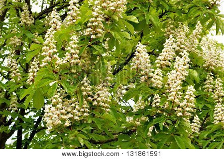 Beautiful flowers of a chestnut on a background of green foliage.
