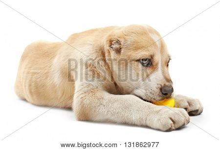 Central Asian Shepherd puppy playing with a toy duck isolated on white