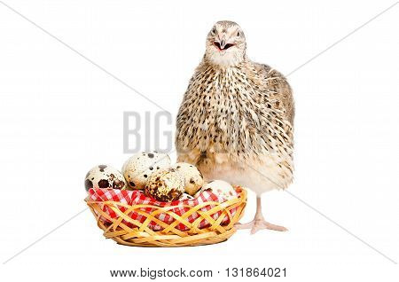 Quail next to a basket of quail eggs, isolated on white background