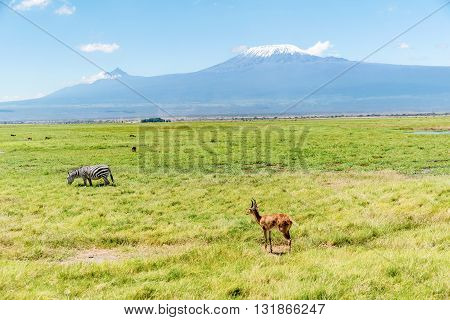 Antelope in Kenya with Kilimanjaro mountain in the background