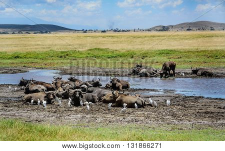 African Buffalo resting by the water in Kenya Africa