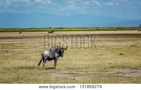 Wildbeest in masai mara reserve in Kenya Africa