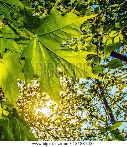 Green maple leaf on the background of the setting sun in the forest