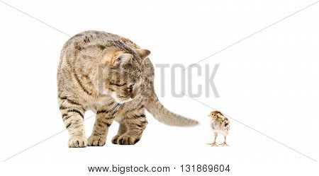 Cat and quail together isolated on white background