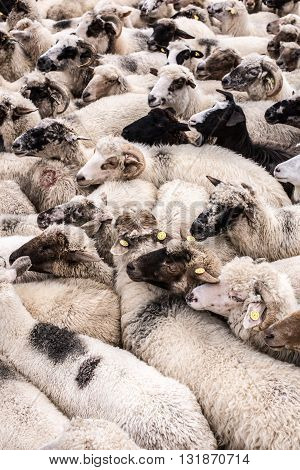 Sheep waiting to be milked for their milk. Herd of sheep.