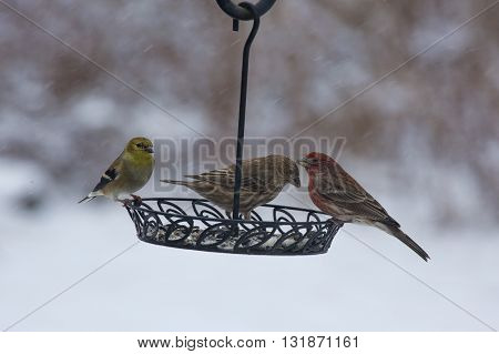House finches (female and male) and gold finches (male in winter garb) sharing breakfast from a backyard bird feeder on a cold snowy Winter morning.