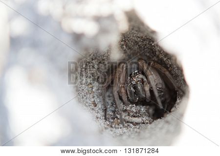 A wolf spider hides in a hole dug into the Florida sand.