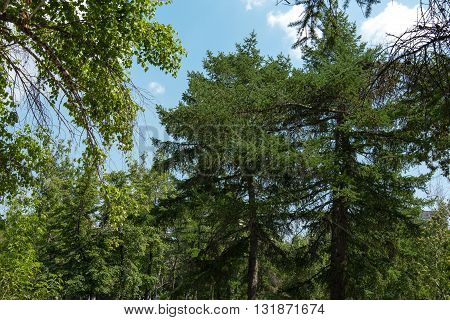 trees in the forest larch and birch on a background of blue sky