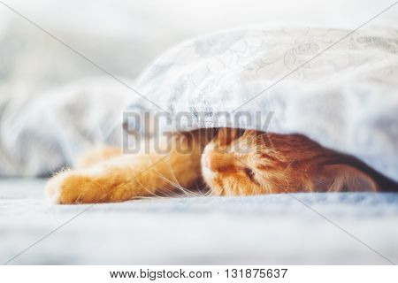 Cute ginger cat lying in bed under a blanket. Fluffy pet comfortably settled to sleep. Cozy home background with funny pet. Soft focus.