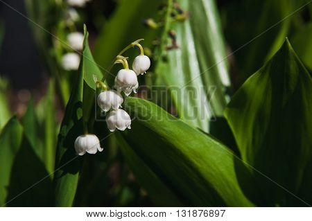 Sprig of Lily of the valley in the sun on green background
