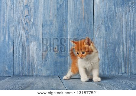 Ginger kitten with white chest. Long haired red orange kitten. Sweet adorable kitten on a serenity blue wood background. Small cat. Funny kitten with copyspace