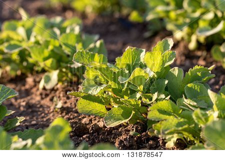 Detail on a Young Radish Plant in a vegetable bed of Garden at Sunset in Springtime