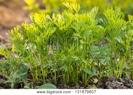 Detail on a row Young Carrot Plants in Vegetable Bed in Garden