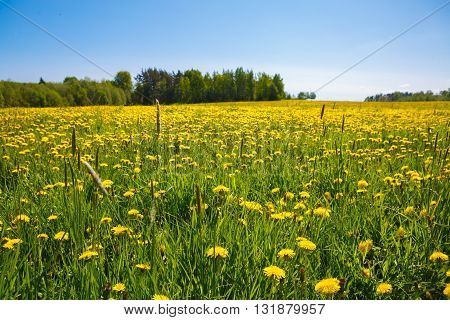 Flower meadow and the blue sky. Pastoral panorama of nature summer. Beautiful rural landscape of a Sunny day. Field with yellow dandelions to the horizon.