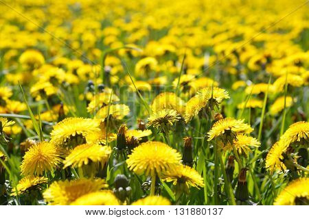 Field of yellow flowers dandelions close. Rural view of flower meadow. Pastoral panorama of nature summer. Beautiful landscape of a Sunny day. Field with yellow dandelions.