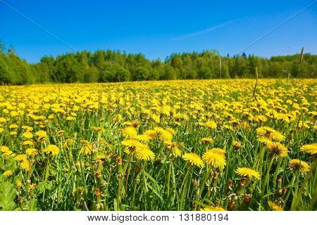Field of yellow dandelions. Rural views to the flower meadow and the blue sky. Pastoral panorama of nature summer. Beautiful landscape of a Sunny day. Field with yellow dandelions to the horizon.