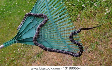 Rat snake crawling on a rake in outdoor setting