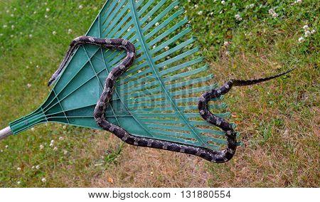 Rat snake crawling on a rake in outdoor setting