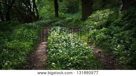 Allium ursinum - known as ramsons buckrams wild garlic broad-leaved garlic wood garlic bear leek or bear's garlic - is a wild relative of chives native to Europe and Asia