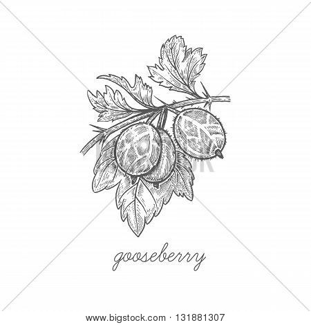 Gooseberry. Vector plant isolated on white background. The concept of graphic image fruits berries. Design for package of health and beauty natural products. Style Vintage engraving. Black and white.
