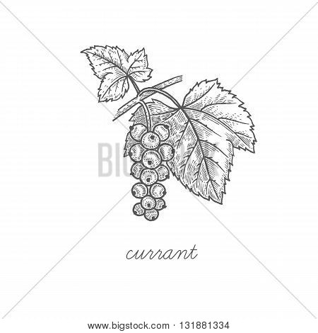 Currant. Vector plant isolated on white background. The concept of graphic image fruits berries. Design for package of health and beauty natural products. Style Vintage engraving. Black and white.