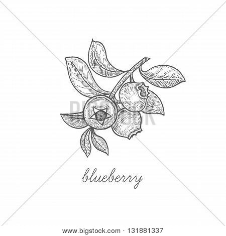 Blueberry. Vector plant isolated on white background. The concept of graphic image fruits berries. Design for package of health and beauty natural products. Style Vintage engraving. Black and white.
