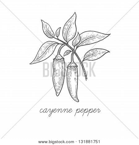Cayenne pepper. Vector plant isolated on white background. The concept graphic images of medicinal plants herbs flowers fruits roots. Can used for packaging of natural products health and beauty.