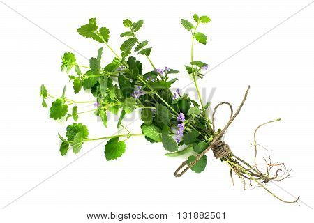 Medicinal plant Glechoma hederacea on a white background