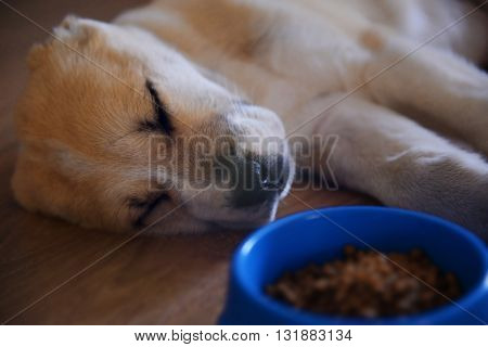 Central Asian Shepherd puppy sleeping on the floor beside bowl with food