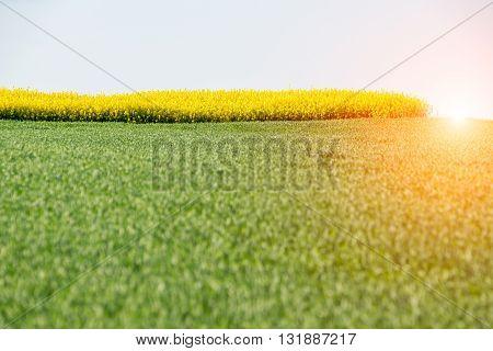 Beautiful sunset above the yellow colza field