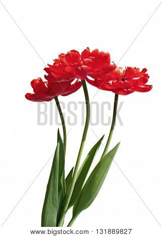 Bouquet of red terry multilobal tulips isolated on white background