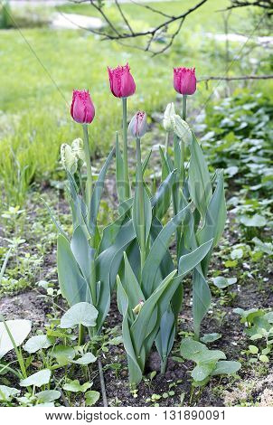 Beautiful red parrot tulips on the flowerbed in the garden in early spring