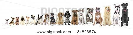 Eighteen sitting dogs in row, from small to large, isolated on white