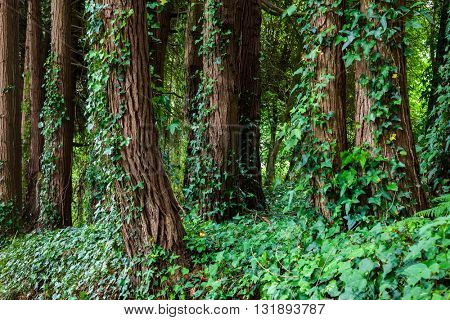 Big trees with ivy lianas in forest, Portugal, Europe