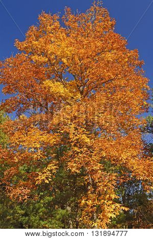 Brilliant Tree on a Sunny Fall Day along the Blue Ridge Parkway in Virginia
