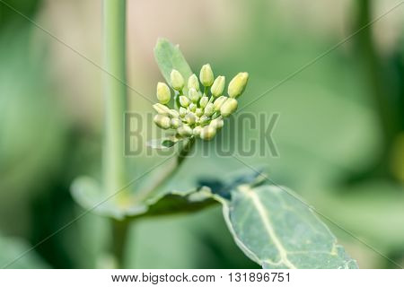 Close macro view on the young colza flowers