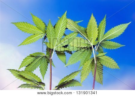 Other side of hemp leaves in a blue sky background