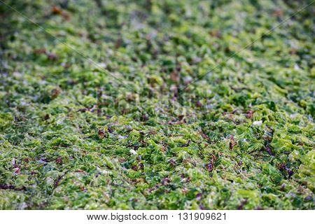 Sea Fresh Green Algae Close Up Detail