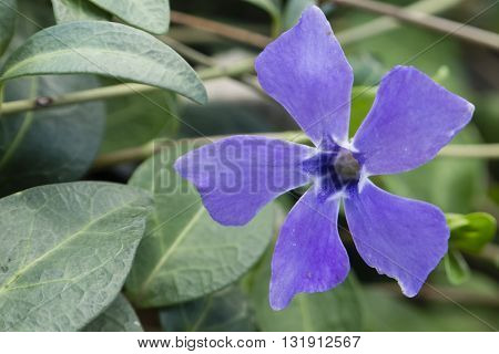 Periwinkle Vinca flower genus of flowering plants in the family Apocynaceae native to Europe northwest Africa and southwest Asia