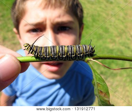 Boy looking at monarch butterfly larvae up close.