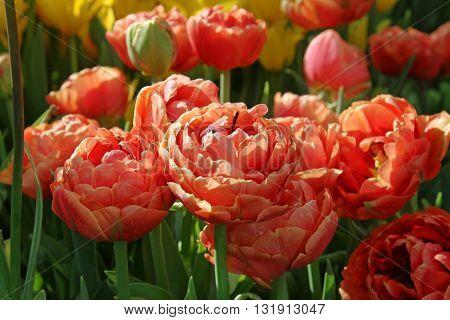 Сoral double peony tulips in the garden