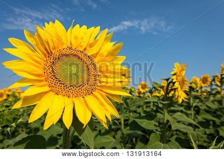 sunflower with blue sky.  field of sunflowers