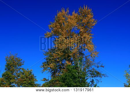 a picture of an exterior Pacific Northwest old growth black cottonwood tree in fall