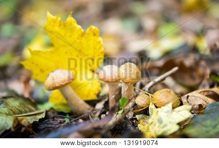 natural agaric mushrooms growing in the forest