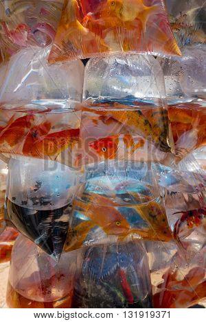 Aquarium fish displayed in plastic bags for sale on motorbike